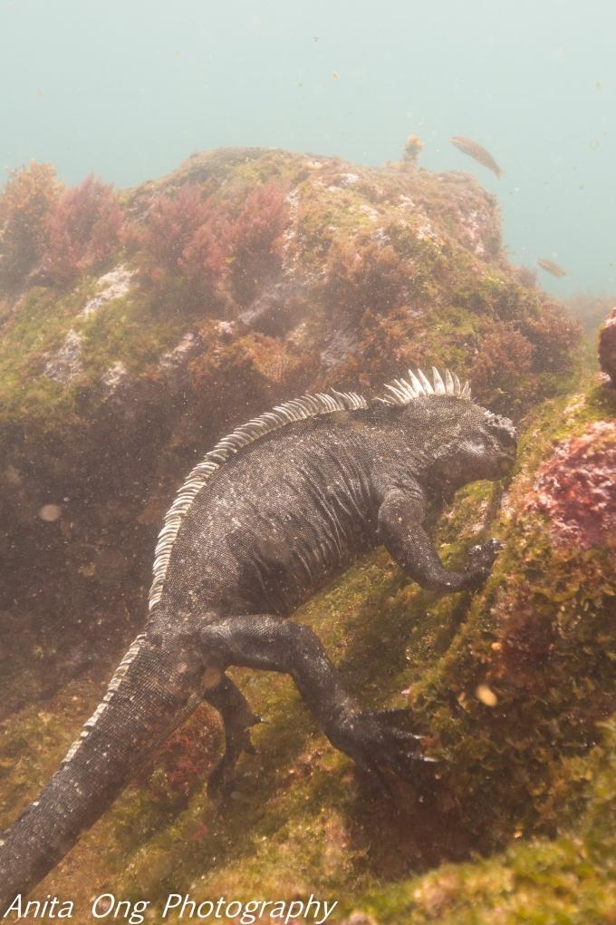 Marine Iguana grazing on seaweed