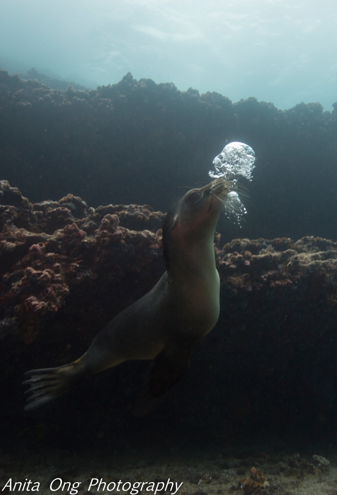 Sealion with bubbles