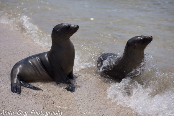 Young Sealions play