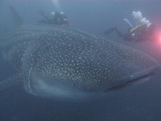 Pregnant Whale shark